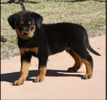 Rottweiler Puppies Male and Female available