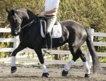 Black male and female Well trained Horse for sale