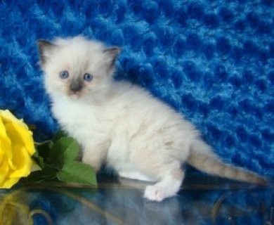 Registered Ragdoll Kitten for Sale