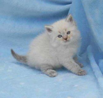 Ragdoll Kittens For Adoption3