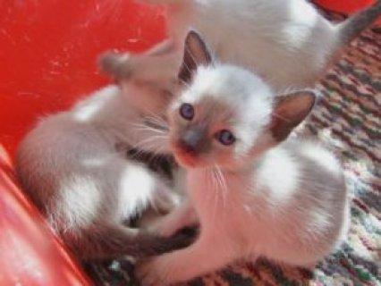 Sealpoint Siamese kittens