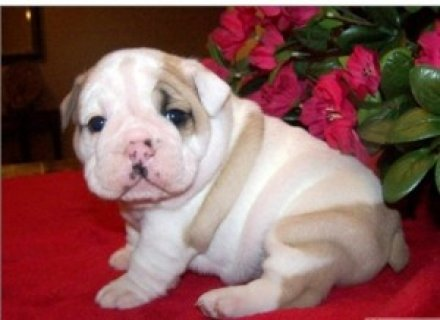 2 Beautiful English Bulldog Puppies