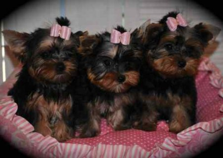 Precious little Yorkies are ready for their forever new homes