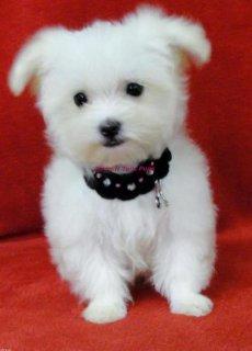 Wonderful maltese puppies for adoption