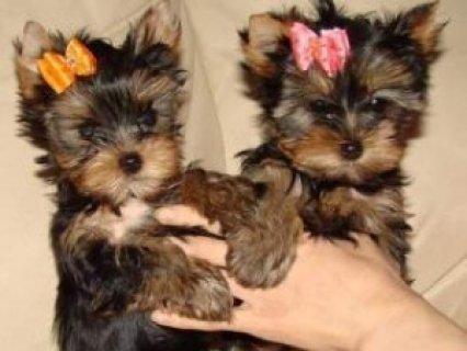 Teacup Yorkie Puppies Now