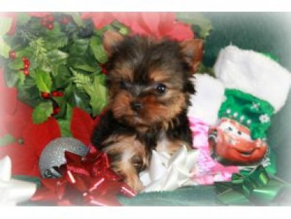 T-cup yorkie puppy looking for a lovely home