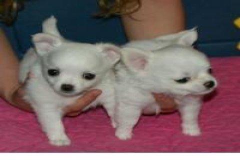 Chihuahua puppies Adoption1