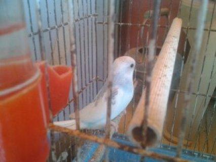 للبيع طيور الدرة