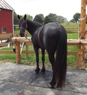 Black Tennessee Walking Horse For Adoption