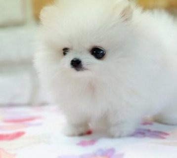 Cute Pomeranian Puppies for re homing