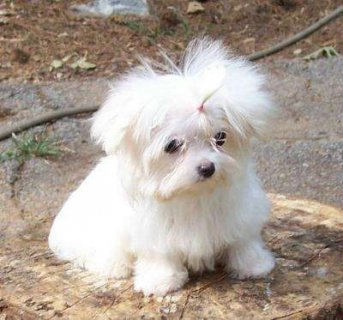 صور 100% Maltese puppies For adoption. 1