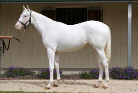 Pure white Arabian Mare!exotic White Silk horse