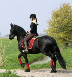 Stallion black male and female Well trained Horse for sale