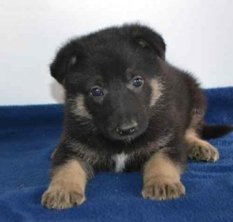 صور German Shepherd puppies for adoption 1
