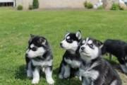 Beautiful Siberian Husky Puppuies For Adoption