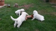 Super Wonderul Golden Retriever Puppies Searching For New homes