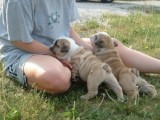 English Bulldogs Pups for Adoption