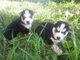 Beautiful Blue Eyed Siberian Husky for Adoption