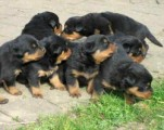 Male and female Rotweiller Puppies for adoption