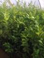 اشجار الليمون بمختلف انواع