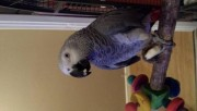African Grey Parrot For Sale with his cage