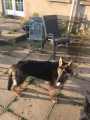 4mth German shepherd male dog