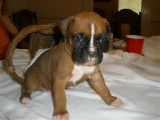 Pure Breed Boxer puppies For Adoption90