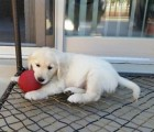 Golden Retriever puppy for adoption