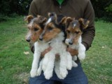 Pedigree Wirehaired Fox terrier Puppies For Sale