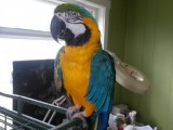Available Dna tested Hyacinth Macaw Parrots Now