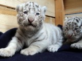 Pure White Siberian  Tiger Cubs available