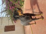 rottweiler female