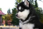 Outstanding malamute Puppies