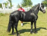 Gorgeous Friesian Horse for Rehoming	2